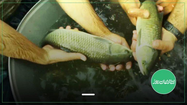 ماهیان