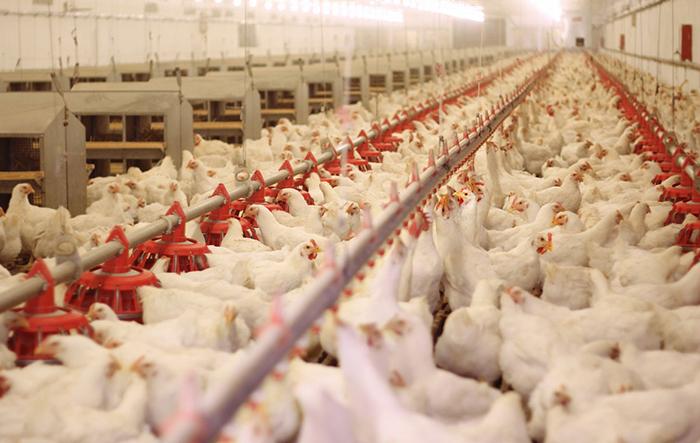 برنامهیی برای توسعه مالداری؛ وزارت زراعت فارمهای مرغداری را گسترش میدهد
