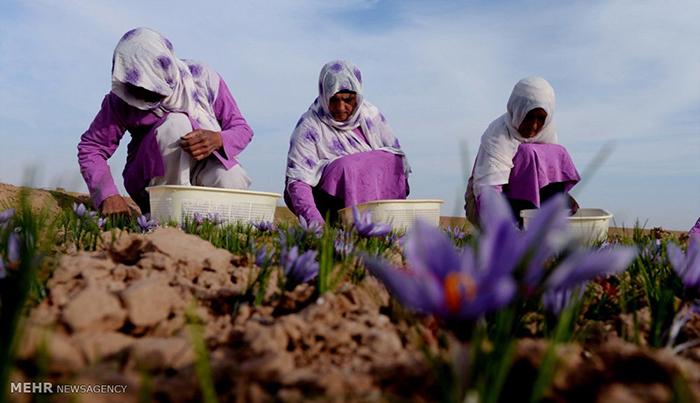 دستآوردهای وزارت زراعت در توسعهی صنعت زعفران