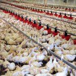 فرار از وابستگی؛ افغانستان در آستانهی خودکفایی تولیدات مرغ