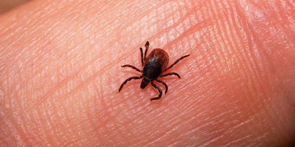 «بیماری تب کانگو در هرات در سال جاری پنجاه درصد افزایش یافته است»