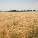 گندم افغانستان