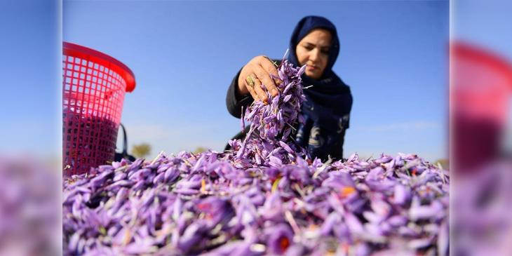 شفیقه عطایی چندین سال است که در بخش تولید و پروسیس زعفران در هرات کار میکند