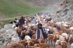 داستان رمهی گوسفندان و ماین 40 هزاری طالبان